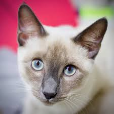 Color point Siamese Cat