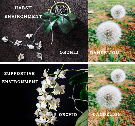 The Orchid Hypothesis: Why Some Children Are Orchids and Others Dandelions