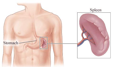spleen health diagram